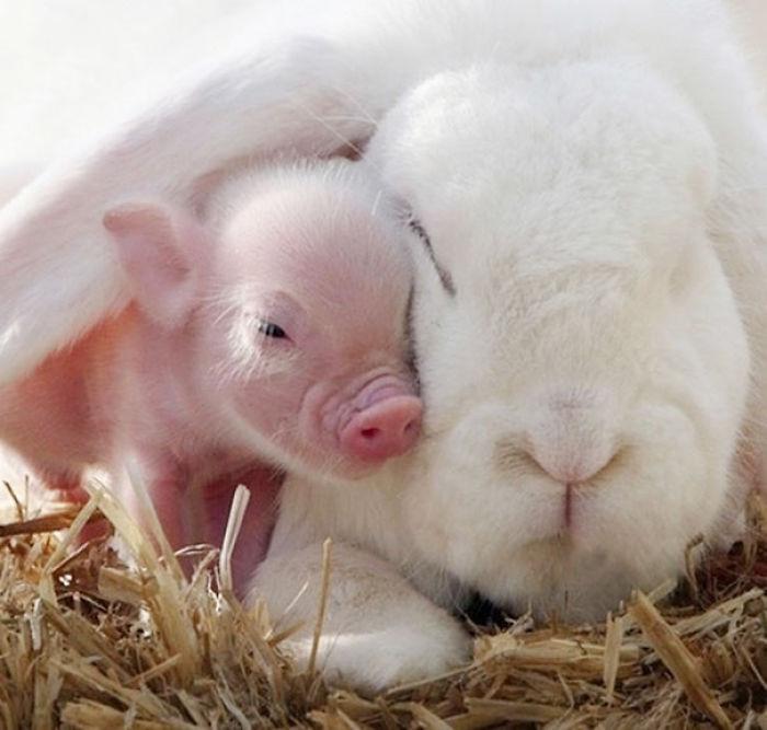 Conejo blanco con cerdito