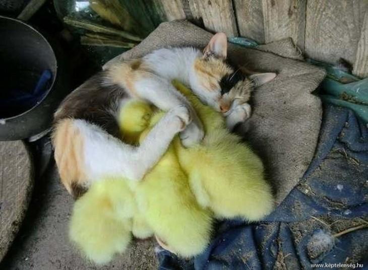 Gato y patitos drmeidno juntos arriba del sofa