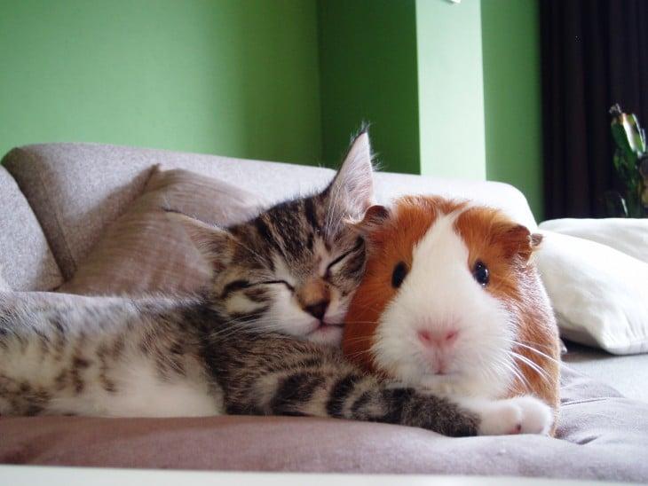 Hampster y gato acostados junto en el sofa
