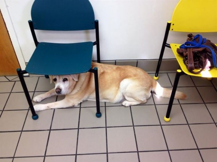 perro acostado debajo de dos sillas