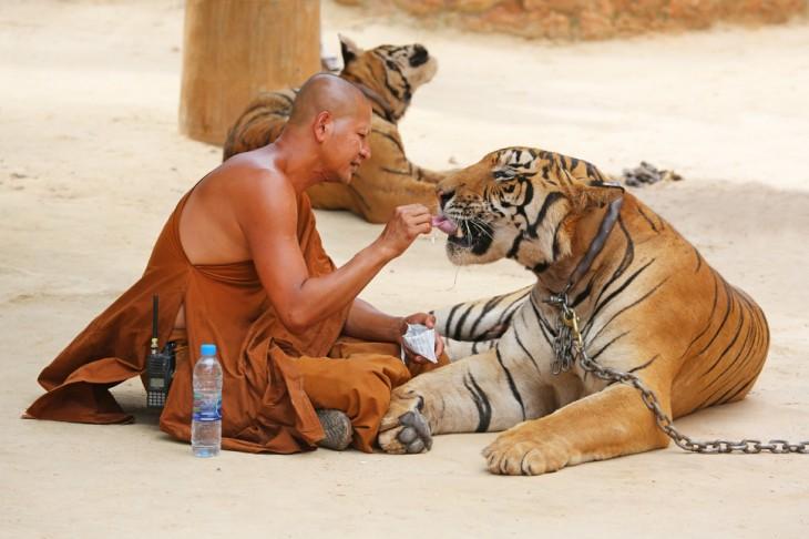 monje alimentando a un tigre encadenado