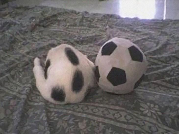 gato identica a un balon de futbol