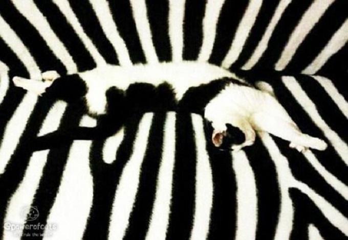 gatos camuflando se en un sofá con rayas de cebra