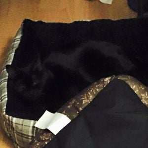 gatos negros camuflando se