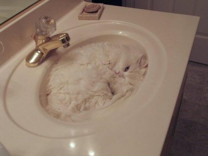 gato blanco en pileta de baño