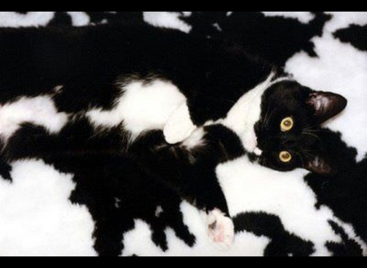 gatos camuflando se manta color vaca