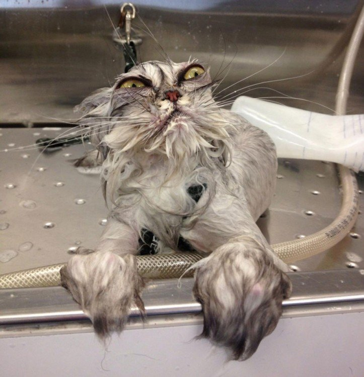 gato mojado con cara de loco