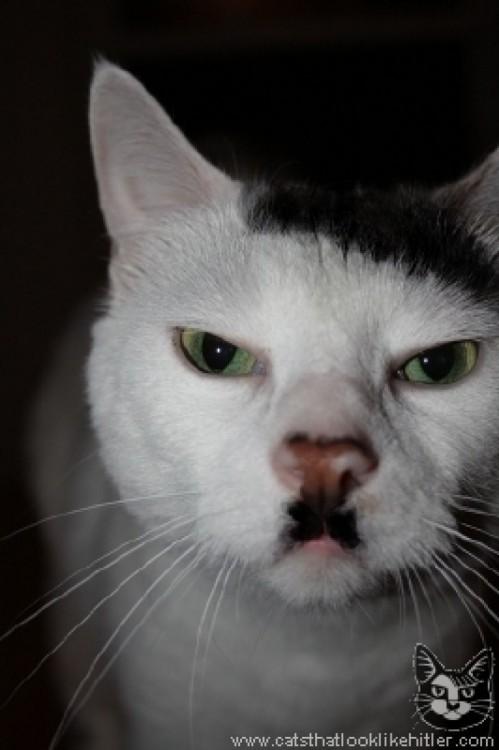 kitlers, gatos que se parecen a Hitler