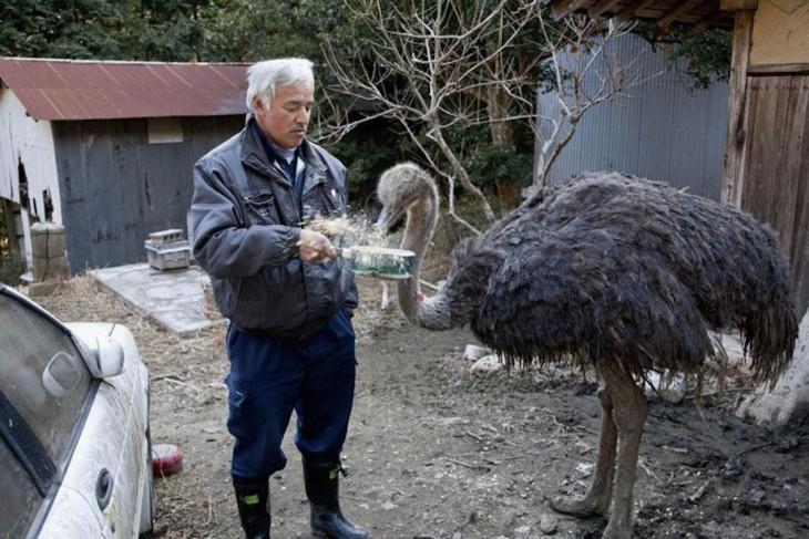 japones dandole de comer a un avestruz