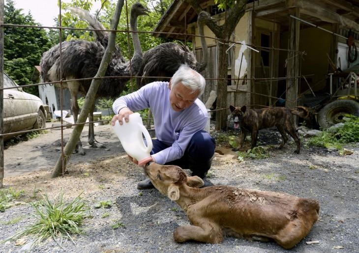 japones dandole de beber leche a un ternero