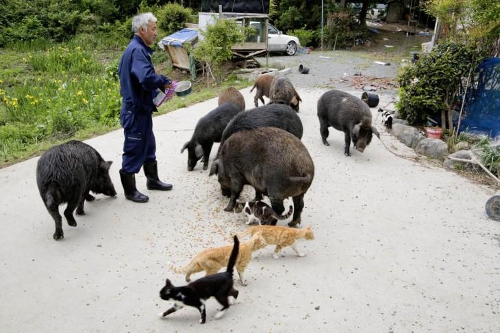 japones con cerdos y gatos