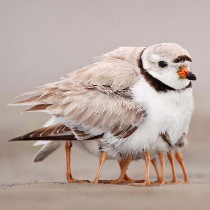 paloma que esta junto a otras palomas y parece tener muchas patas