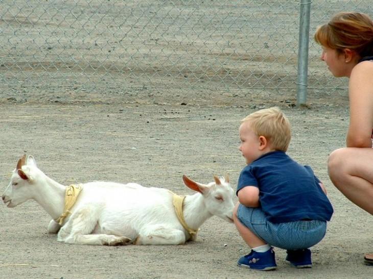 Cabra que simula tener dos cabezas un niño y su madre agachados junto a ella