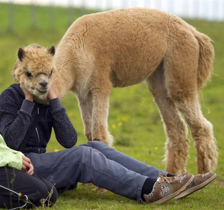 chica sentada en el pasto con una alpaca a un costado y con la cabeza frente a ella