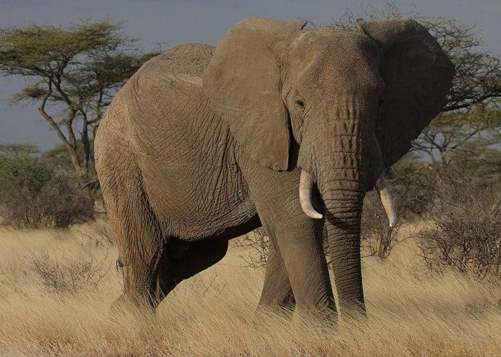 los animales más letales Elefantes