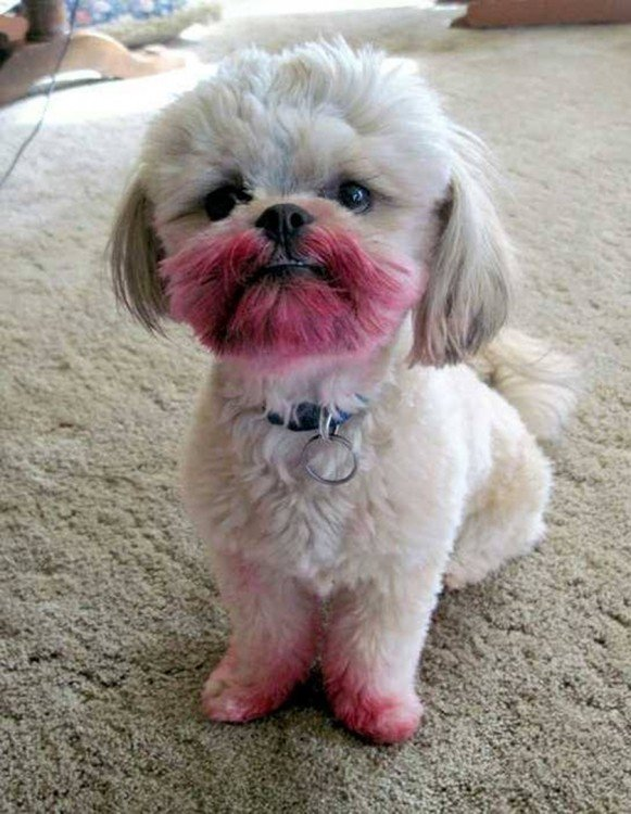 caniche blanco con la boca sucia de algo rosado