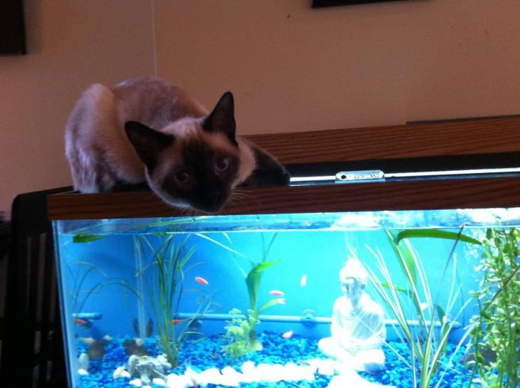 gato pescando en la pecera