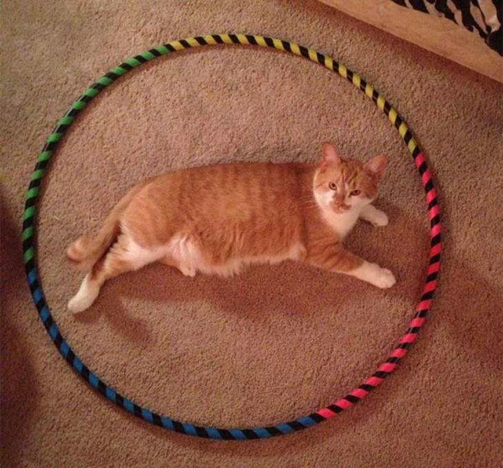 gato color pardo acostado en un circulo