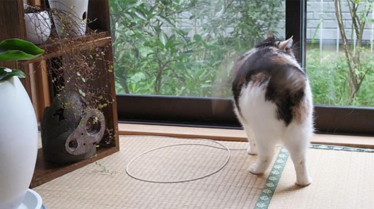gato blanco y negro caminado a un circulo