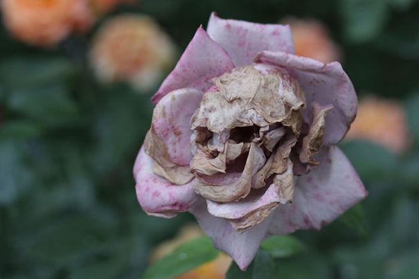 rosa color morada con pétalos de color café formando una calavera