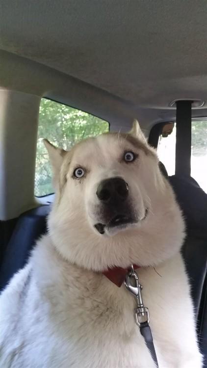perro blanco asustado con los ojos de color azul