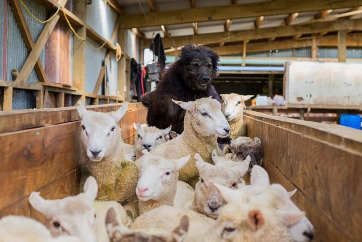 perros pastores (1)