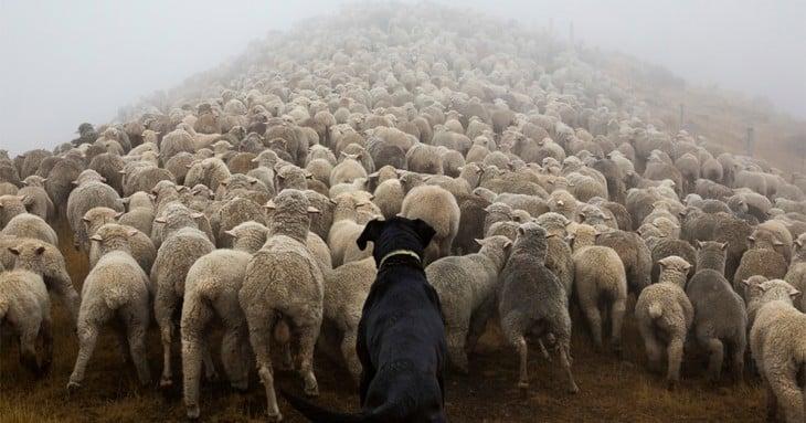 perros pastores (2)