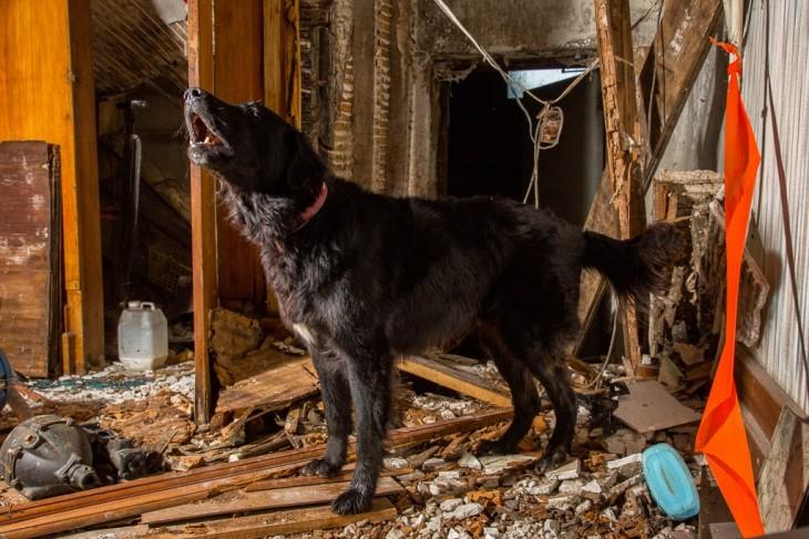 Perro de búsqueda y rescate urbano