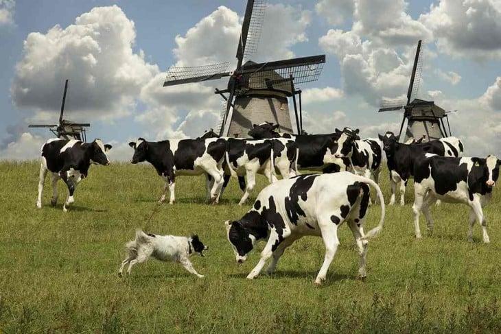 perros  pastores de vacas