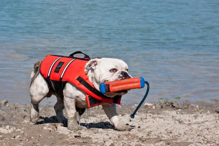bulldog con salvavidas saliendo del mar