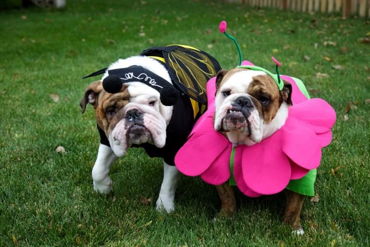 pareja de bulldogs disfrazados de abejiota y flor en halloween