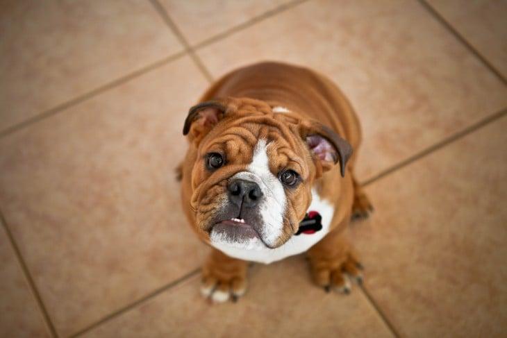 bulldog cafe esperando a que le den de comer algo