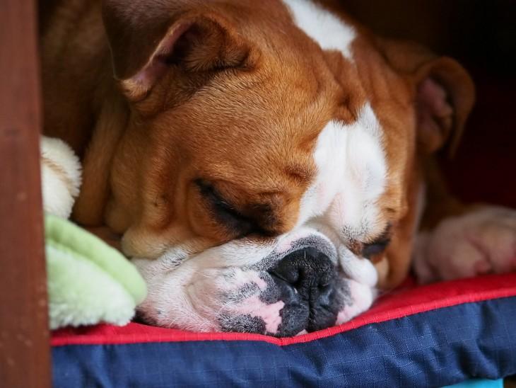 buldog durmiendo profundamente