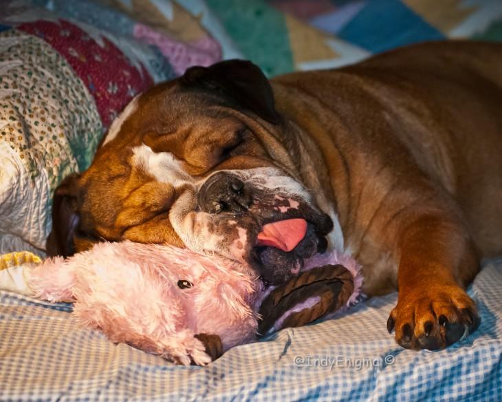bulldog dormido con la lengua de fuera recostado en su osito de peluche