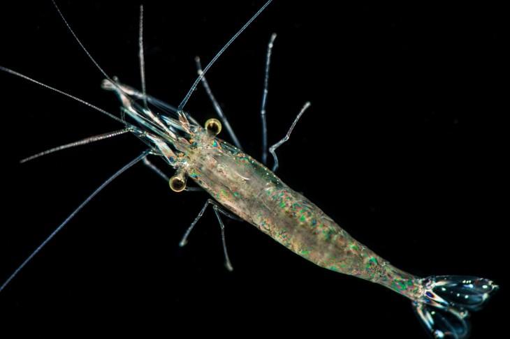 camarón fantasma especie transparente
