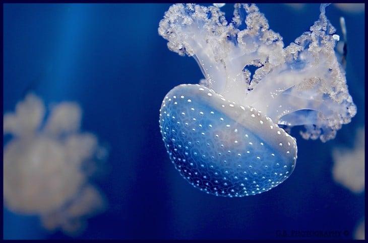 medusa no existe una cantidad excta de cuantas especies haya