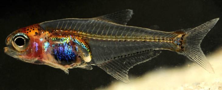 pez buscador de panza azul