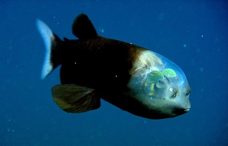 pez barreleye o ojos de abarril azul latinoamericano