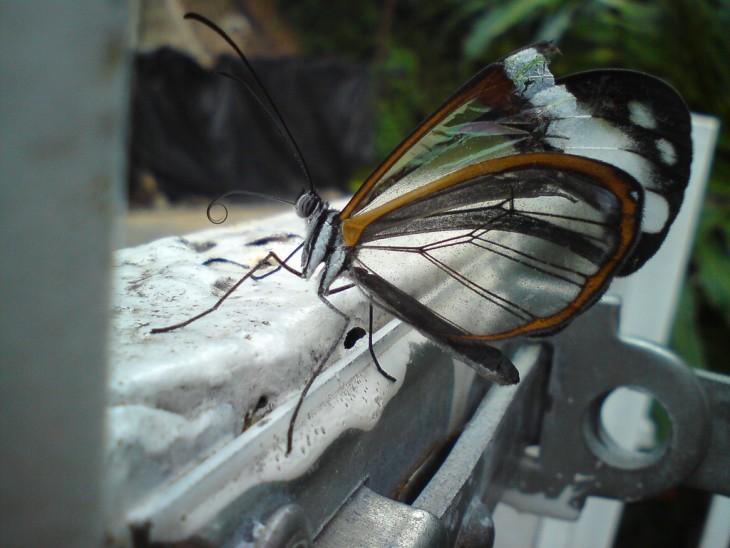 mariposa ala de cristal del grupo de las libelulas
