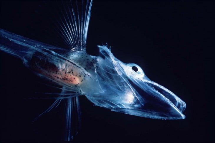 pez de la antartida llamado cocodrilo de hielo