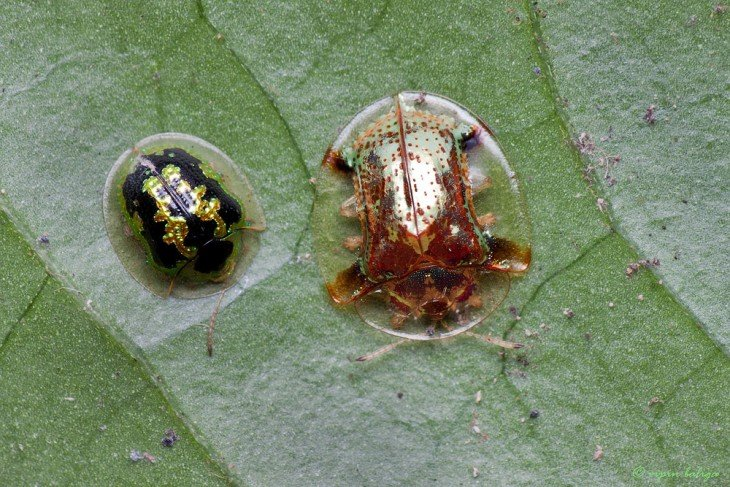 escarabajo caparazón de tortuga  es como una catarina babosa y trasparentes