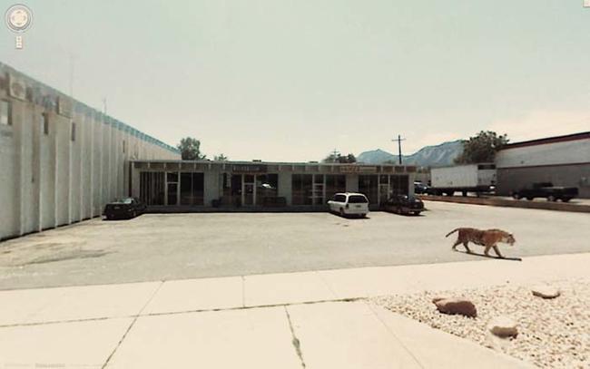 tigre perdido en un estacionamiento