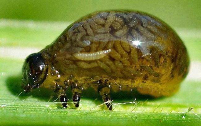 bicho repleto de gusanos