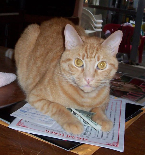 gato comiendo un billete de dollar