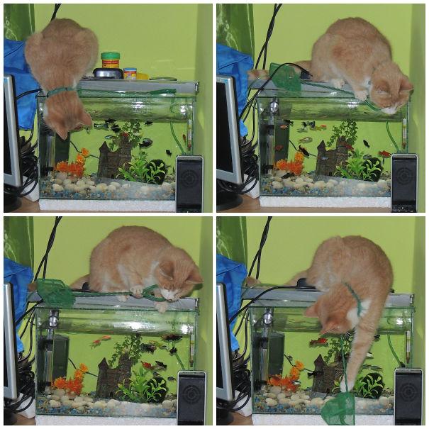 gato pescando en la pecera de la casa