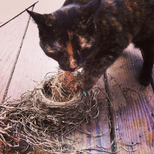 gato comiendose los huevos de un nido