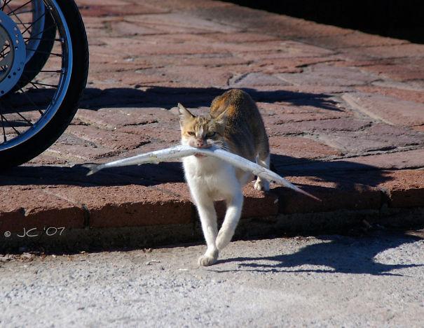 gato con un pecesote en el hocico