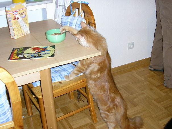 gato queriendo tomarse el cereal