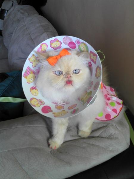 gatita blanca con moño y naranja y cono de cup cakes
