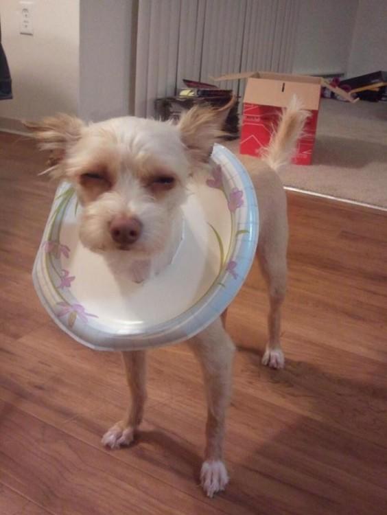perro con un plato en la cabeza simulando un cono de la verguenza